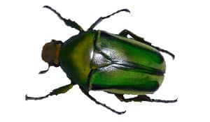 Giant African Flower Beetle